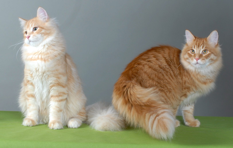 порода кошек фото сибирская порода