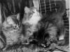 Амур и Алдан Абакан - котята