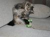 SiestaDream's Nebraska котенок играет