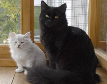 Black and silver Siberian cats